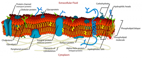 Detailed illustration of the cell membrane.
