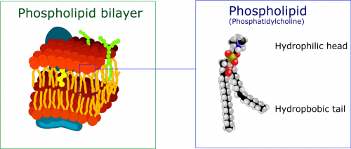 The phospholipid bilayer of the cell membrane.